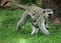Vervet Monkeys (6614326211).jpg