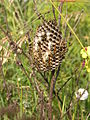 Vespiary of Polistes gallicus 2.jpg