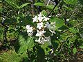 Viburnum carlesii var. bitchiuense 1.JPG