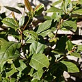Viburnum tinus-Viorne tin-Feuilles-20190311.jpg
