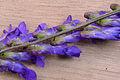 Vicia cracca flowers, vogelwikke bloeiwijze (1) bewerkt.jpg