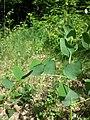 Vicia pisiformis sl4.jpg