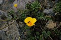 Views of poppies and other flowers overlooking Goat Rock Beach in Sonoma County 01.jpg