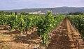 Vignes AOC Ventoux près de Saint-Saturnin d'Apt.jpg
