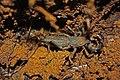 Vinegaroon - Whip Spider (Mastigoproctus baracoensis) (8576421119).jpg