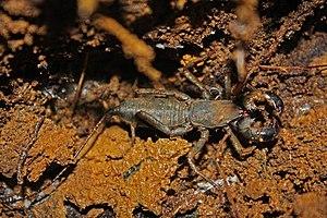 Mastigoproctus - Mastigoproctus baracoensis