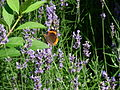 Violet flowers 2007 and a orange-brown butterfly.JPG