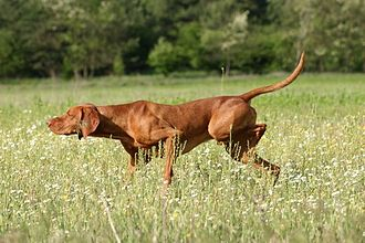 Dog intelligence - Many dogs can follow a human pointing gesture.