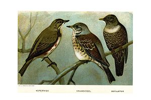 Thrush (bird) - Redwing, Fieldfare, Ring ouzel