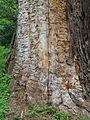 Vraatgangen larven heldenbok in eik bij Wörlitz.jpg