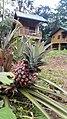 Vue des bungalows à partir du Nyong, Site écotouristique d'Ebogo, Cameroun.jpg