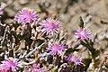 Vygie (Delosperma sp.) (32745939175).jpg