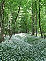 Waldmeister, Blütenteppich, Laubwald, Rheinauen bei Karlsruhe.jpg
