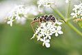 Wasp Beetle.jpg