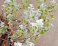 Wasp behavior - Helichrysum petiolare 2019 abc1.jpg