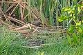 Water Rail (Rallus aquaticus) with big crayfish ... (26098386992).jpg
