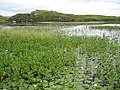 Water lilies on Loch Shobhail - geograph.org.uk - 205977.jpg
