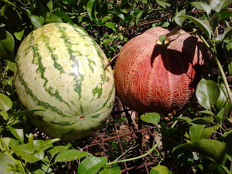 File:Watermelon and melon in India.jpg