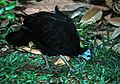 Wattled Brush-turkey (Aepypodius arfakianus) (7937212082).jpg