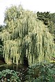 Weeping willow beside the Stour at Blandford Forum - geograph.org.uk - 1496579.jpg