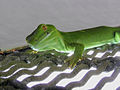 Wellington Green Gecko 04.jpg