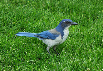 "California scrub jay - Another ""California"" scrub jay. Note bright white plume breaking the breast band. Prominent markings in eye region are typical of male birds."