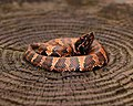 Western Cottonmouth (Agkistrodon piscivorus leucostoma) (16199882414).jpg