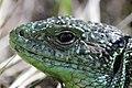 Western Green Lizard - Lacerta bilineata (16802718817).jpg