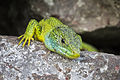Western green lizard Germany Limberg 3.jpg