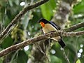 Wetmorethraupis sterrhopteron - Orange-throated Tanager (cropped).jpg