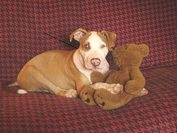 English: American Pit Bull Terrier