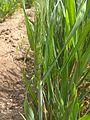 Wheat plant at TNAU.jpg