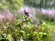File:Whinchat93.ogv