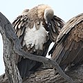 White-backed Vulture, Gyps africanus, at Kgalagadi Transfrontier Park, Northern Cape, South Africa. (46112754012).jpg