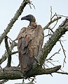White-backed Vulture (Gyps africanus) (16671508592).jpg