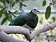 White-bellied Imperial Pigeon RWD.jpg