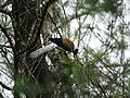 White-bellied Treepie- Mugilu Homestay 02.jpg
