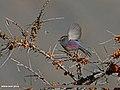 White-browed Tit-warbler (Leptopoecile sophiae) (23833832365).jpg