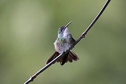 White-chested Emerald (Amazilia brevirostris).jpg