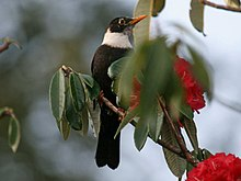 White-collared Blackbird RWD.jpg
