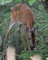 White-tailed Deer (Odocoileus virginianus) - Guelph, Ontario 05.jpg