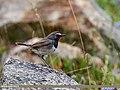 White-tailed Rubythroat (Luscinia pectoralis) (23946237628).jpg