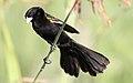 White-winged widowbird, Euplectes albonotatus, at Zaagkuildrift Road near Kgomo Kgomo, Limpopo, South Africa (30738394704).jpg
