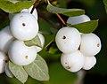 White Berries (8090249433).jpg