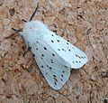 White Ermine. Male. Spilosoma lubricipeda - Flickr - gailhampshire.jpg