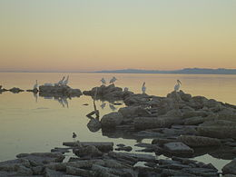 White Pelican at Salton Sea.jpg