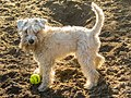 White miniature schnauzer puppy with a tennisball on sand.jpg