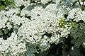 Whitethorn blossom (27132693041).jpg