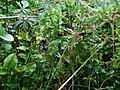Wild blaeberries, Bradkeel - geograph.org.uk - 914626.jpg