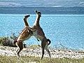 Wild guanacos.jpg